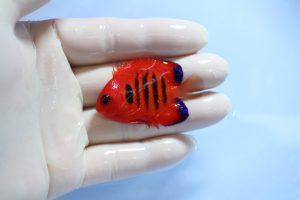 カリブ・ハワイ 海水魚