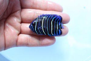 バリ・カリブ便 海水魚